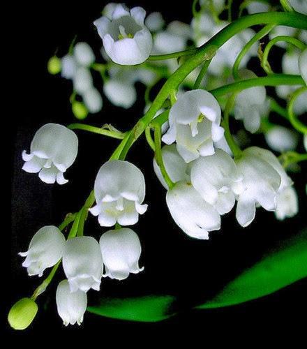 Kết quả hình ảnh cho hoa linh lan